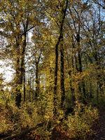 Herbstlicher Buchenwald am Abend im Gegenlicht