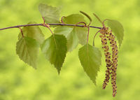 branch and leaves of birch tree