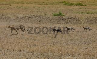 Gepard mit seinen drei Jungen im Serengeti Nationalpark