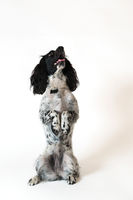 Beautiful female spaniel sits on its hind legs on white background