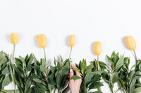Several yellow tulips on a white background and a female hand with a manicure