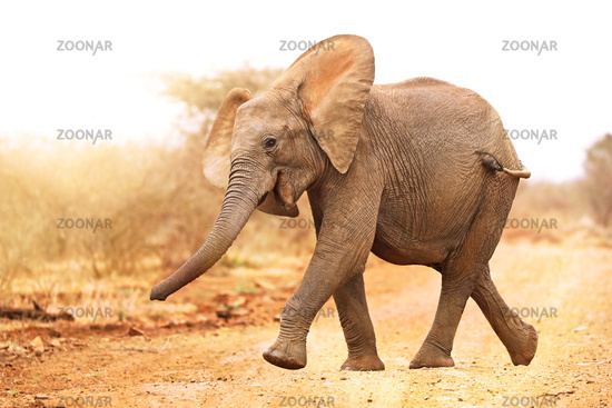Glücklicher Elefant im Kruger Nationalpark Südafrika; happy young african elephant south africa, wildlife