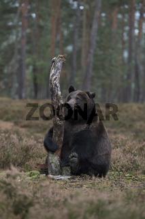 lustiger Kerl... Europäischer Braunbär *Ursus arctos*, verspielt, lustiges Bild
