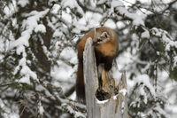 ein Jungtier... Amerikanischer Baummarder *Martes americana*