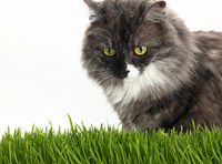 Gray domestic cat in fresh green grass over white