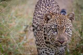 Leopard walking towards the camera.