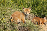 family of red foxes in natural habitat ( Vulpes vulpes )