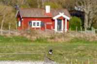 Barn swallow on a wire in front of a red cottage at spring