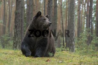 kräftig... Europäischer Braunbär *Ursus arctos*