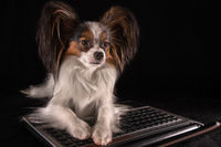 Beautiful dog Continental Toy Spaniel Papillon working in laptop on black background