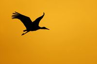 1 BA Storch am Abendhimmel.jpg