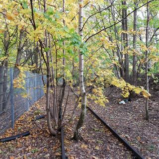 Stillgelegtes Gleis von junge Bäumen überwachsen