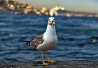 sea gull standing on the pier beach, seagull white bird Bosphorus, Istanbul, Turkey