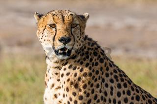 Cheetah sitting and looking at the savannah