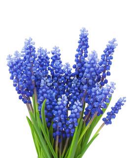 Springs flowers ( Muscari) background