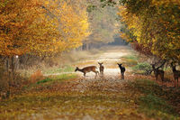 deers on rural road in the middle of the forest ( Dama )
