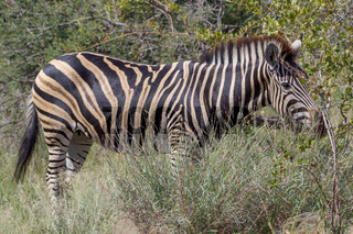 A zebra in the Kruger National Park South Africa