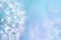 Dandelion seeds closeup blowing on light blue background. Greeting card template. Soft toned. Copy space. Spring nature