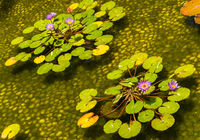 Decorative pond with beautiful water lilies
