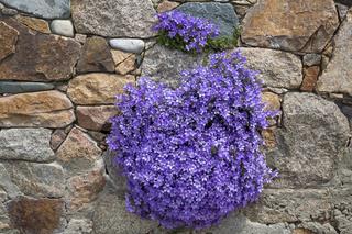 Campanula (Glockenblume) auf einer Hauswand