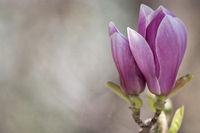 Magnolienblüte im Frühling