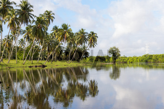 Set of coconut trees on the river bank. Reflection.