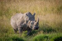 Big White rhino bull standing in the grass.