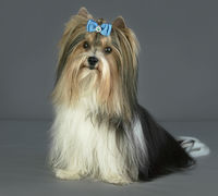Beautiful male Beaver Yorkshire Terrier with bow