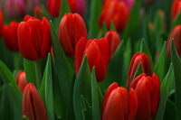 Red fresh tulip flowers with green leaves