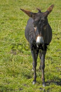 Maultier / donkey