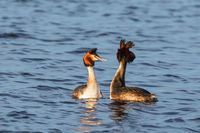 Pair of Great Crested Grebe in mating ritual