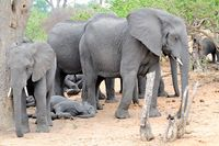 schlafende Elefantengruppe