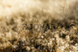Grass straws with dew in backlight on a meadow