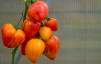 Ripe natural orange russian tomatoes .