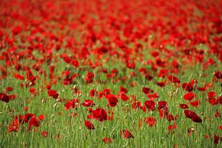 Klatschmohn Feld (Papaver rhoeas), Corn poppy field