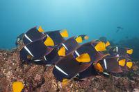 Schwarm Koenigs-Kaiserfische, Galapagos, Ecuador