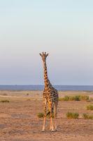 Solitary giraffe in Amboseli national park, Tanzania.