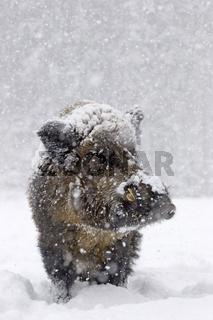 Wildschwein im Schnee (Sus scrofa)
