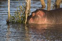 Nilpferd,  (Hippopotamus amphibius), iSimangaliso Wetland Park
