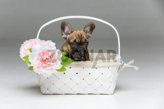 cute french bulldog puppy in basket