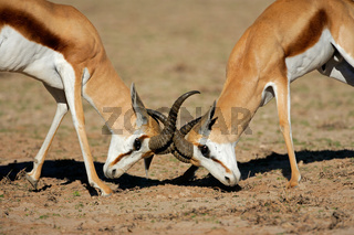Fighting Springbok