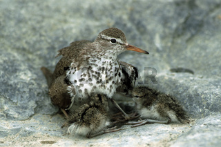 Drosseluferlaeufer hudert Junge, Actitis macularia, Spotted Sandpiper, protecting its chicks