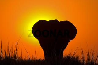 Afrikanischer Elefant (Loxodonta africana) im Sonnenuntergang am Chobe Fluss, Chobe-Nationalpark, Botswana, Afrika, African Elephant at sunset, Chobe River, Chobe NP, Africa