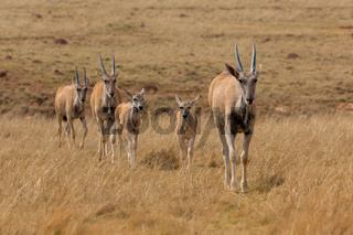bunch of cape eland