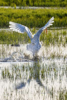 Mute Swan starting from the water with water splash