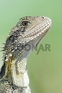 eastern water dragon lizard
