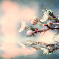 Beautiful sakura flower cherry blossom and ladybug water reflection. Greeting card background template. Shallow depth. Soft vintage toned. Spring nature
