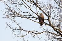 im Baum... Seeadler * Haliaeetus albicilla *