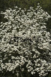 Yulan-Magnolie, Magnolia denudata in Blüte