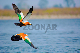 Ruddy shelduck, Tadorna ferruginea known in India as the Brahminy duck